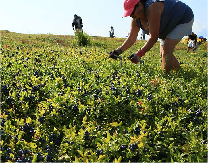 Daureen Flores Rakes Blueberries