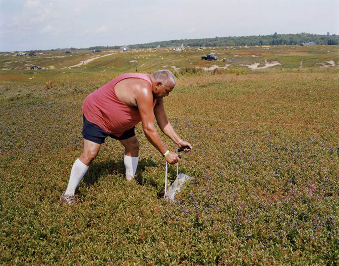 man raking blueberries